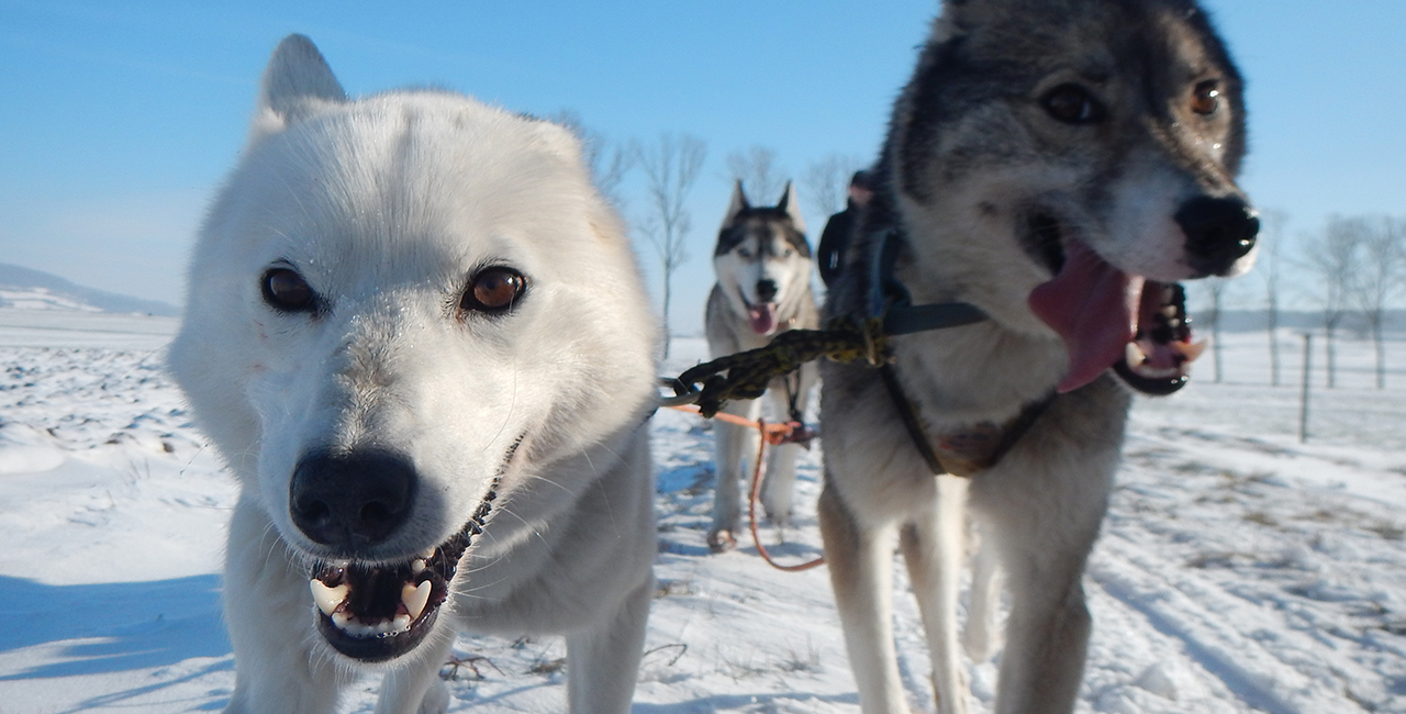 Schlittenhunde Tagestour Eiterfeld-Wölf