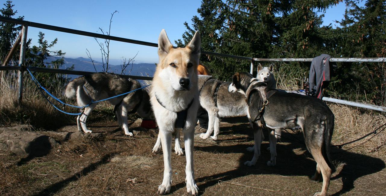 Husky Wanderung in Kollnburg